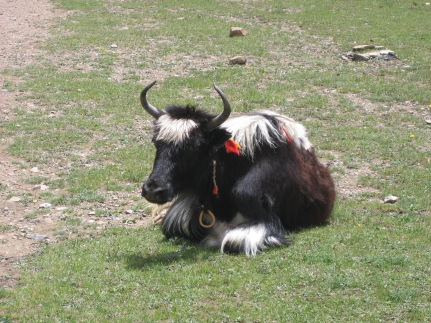 Liberated Yak